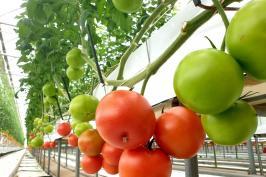 가을추수와 함께 토마토피아 토마토가 넘 이뻐요